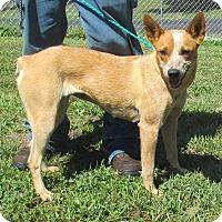 Adopt A Pet :: Tilly - Reeds Spring, MO