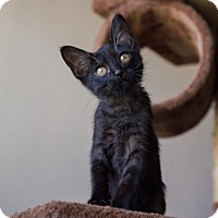 Domestic Shorthair Kitten for adoption in Palm Springs, California - Breezy