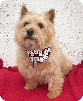 Norwich Terrier Dog for adoption in Sullivan, Missouri - Wallis