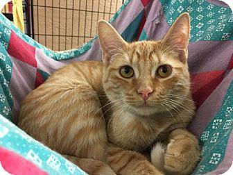 Domestic Shorthair Kitten for adoption in Pendleton, New York - Fries
