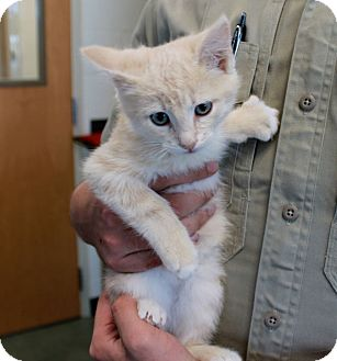 Domestic Shorthair Kitten for adoption in Edgewood, New Mexico - Pumpkin