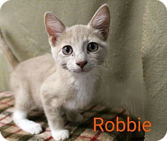 Domestic Shorthair Kitten for adoption in Newport, Kentucky - Robbie