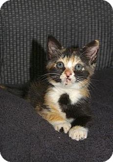 Domestic Shorthair Kitten for adoption in Englewood, Florida - Izzy