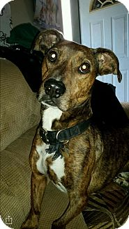 Dachshund/American Pit Bull Terrier Mix Dog for adoption in grants pass, Oregon - Tank