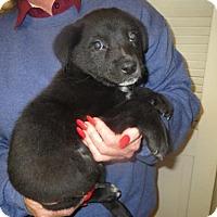 Adopt A Pet :: Shep,collie,lab mix - Moreno Valley, CA
