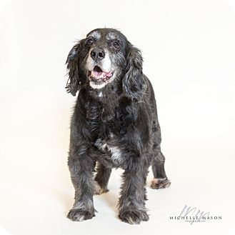 Spaniel (Unknown Type) Mix Dog for adoption in Naperville, Illinois - Dutchess