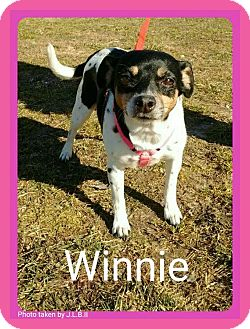 Terrier (Unknown Type, Small)/Chihuahua Mix Dog for adoption in Bay City, Michigan - Winnie