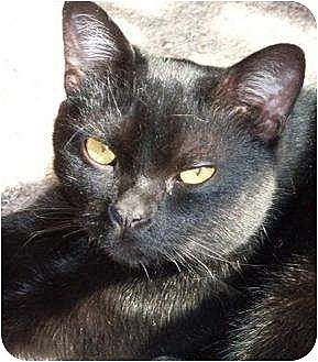 Domestic Shorthair Cat for adoption in Lilburn, Georgia - Yoda