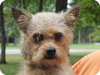 Yorkie, Yorkshire Terrier/Poodle (Toy or Tea Cup) Mix Dog for adoption in Harrisonburg, Virginia - Mindy