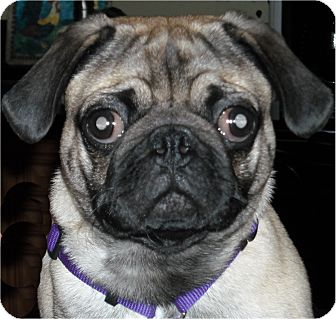 Pug Puppy for adoption in Mays Landing, New Jersey - Jake-NJ