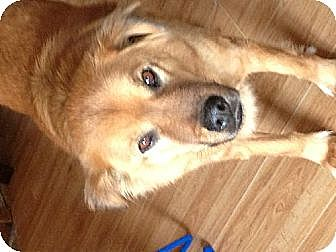 Golden Retriever/Chow Chow Mix Dog for adoption in Farmland, Indiana - Rascal