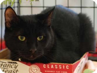 Domestic Shorthair Kitten for adoption in Merrifield, Virginia - Johnny Cash & Sinatra