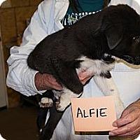 Adopt A Pet :: Alfie - Conway, AR