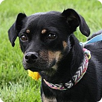 Adopt A Pet :: Dixie - Broomfield, CO