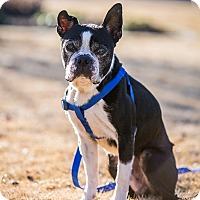 Adopt A Pet :: Merle - Adoption Pending - Greensboro, NC