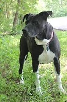Labrador Retriever Mix Dog for adoption in Yukon, Oklahoma - Brooklyn