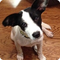 Adopt A Pet :: Missy - Garland, TX
