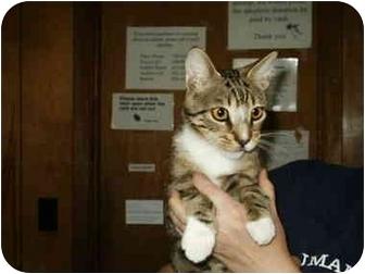 Domestic Shorthair Cat for adoption in Mason City, Iowa - Dawg