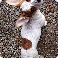 Adopt A Pet :: Biscuit - Huntsville, AL