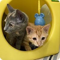 Adopt A Pet :: Velcro - Warren, OH