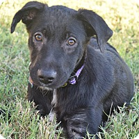 Adopt A Pet :: Kodiack - Aubrey, TX