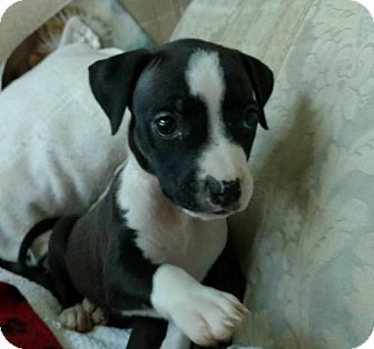 Pit Bull Terrier Mix Puppy for adoption in Houston, Texas - Phoebe