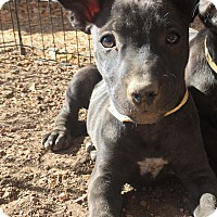 Adopt A Pet :: Ronda Rousey (FORT COLLINS) - Fort Collins, CO