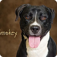 Adopt A Pet :: Smokey - Somerset, PA