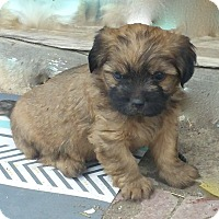 Brussels Griffon/Dachshund Mix Puppy for adoption in Englewood, Colorado - KALVIN