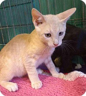 Domestic Shorthair Kitten for adoption in Seminole, Florida - Mozart