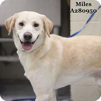 Labrador Retriever Dog for adoption in Conroe, Texas - MILES