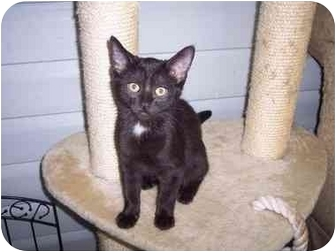 Domestic Shorthair Kitten for adoption in Delmont, Pennsylvania - Robyn