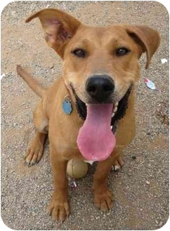 Labrador Retriever/Retriever (Unknown Type) Mix Dog for adoption in Golden Valley, Arizona - Cindy