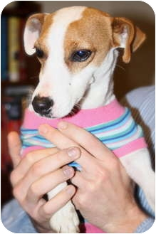 Jack Russell Terrier Dog for adoption in Arkansas City, Texas - Jalepeno in Arkansas