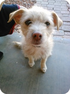 Sealyham Terrier/Lakeland Terrier Mix Dog for adoption in Litchfield Park, Arizona - Milly - Only $65 adoption fee!