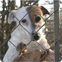 Jack Russell Terrier/Jack Russell Terrier Mix Dog for adoption in Columbia, Tennessee - I want a home!