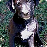Adopt A Pet :: Remington smart, fun, easy boy - Sacramento, CA