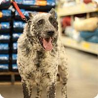 Australian Cattle Dog Dog for adoption in Logan, Utah - Cowboy