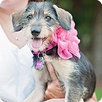 Adopt A Pet :: Bentlee - Kingwood, TX