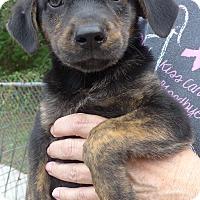 Adopt A Pet :: Blaze - Manning, SC