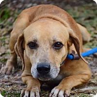 Adopt A Pet :: Phil - Bradenton, FL