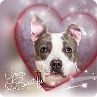 Adopt A Pet :: BEYONCE - Reno, NV