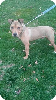 Pit Bull Terrier/Shepherd (Unknown Type) Mix Dog for adoption in Lake Orion, Michigan - Buddy