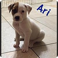 Adopt A Pet :: Ari - Marlton, NJ