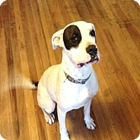 Adopt A Pet :: Atlas - Sweet Deaf Boy - Kirkland, WA
