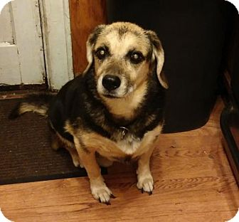Hound (Unknown Type) Mix Dog for adoption in Brooklyn, New York - Bear - the perfect companion!