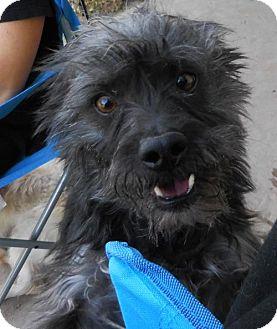 Standard Schnauzer/Maltese Mix Dog for adoption in Peralta, New Mexico - **YODA