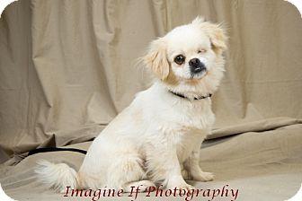Pekingese Mix Dog for adoption in Oklahoma City, Oklahoma - Governor