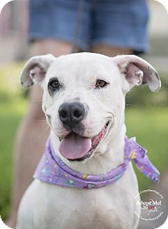 Boxer/American Bulldog Mix Dog for adoption in Houston, Texas - Spirit