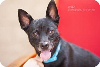 Chihuahua Mix Dog for adoption in Dallas, Texas - Mojo